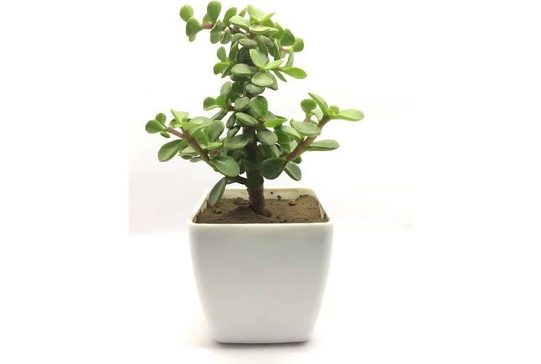 plant or sapling