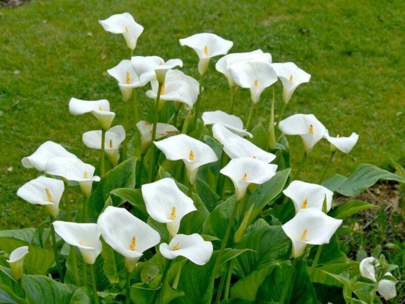 Popular Wedding Flower Calla Lilies