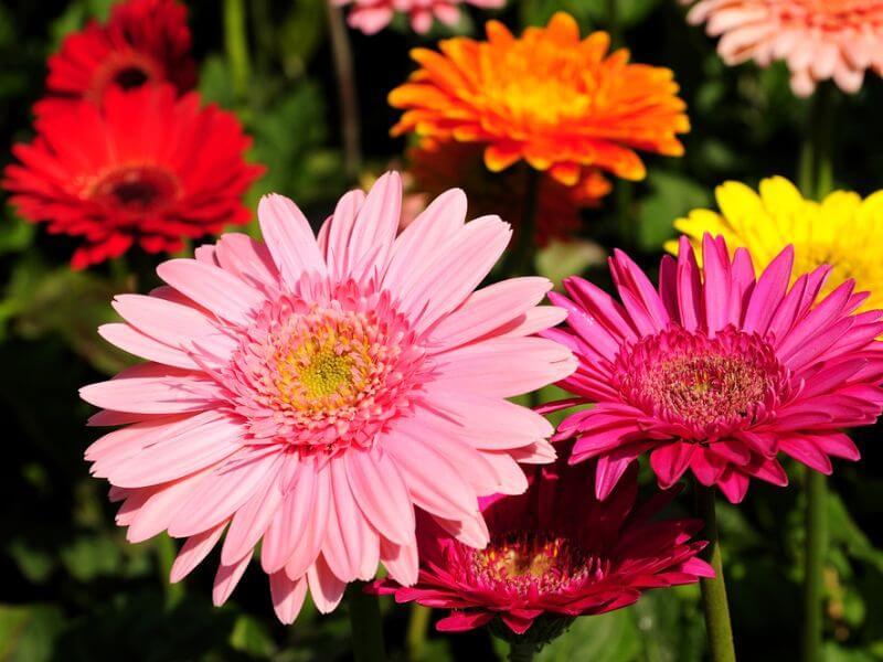 Beautiful Wedding Flower Gerbera Daisies