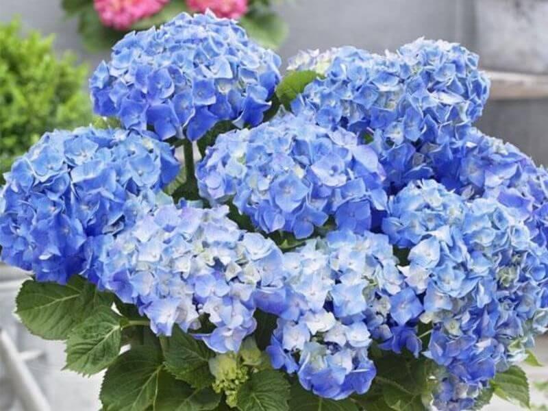 hydrangea wedding flower